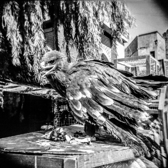 Baghdad, Iraq - 2.10.2013: A falcon in the animal market of Baghdad.
